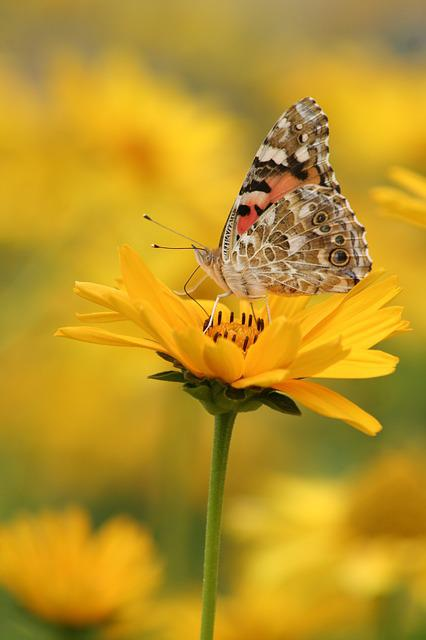 Butterfly, Yellow, Flower, Insect, Nature, Wing, Animal