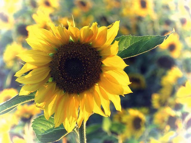 Sun Flower, Yellow, Sunflower Field, Close, Summer
