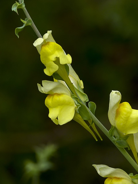 Yellow, Common Snapdragon, Snapdragon