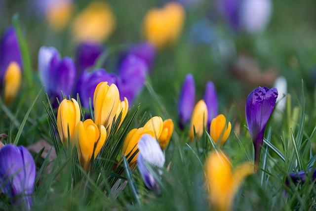 Crocus, Blossom, Bloom, Flower, Purple, Yellow