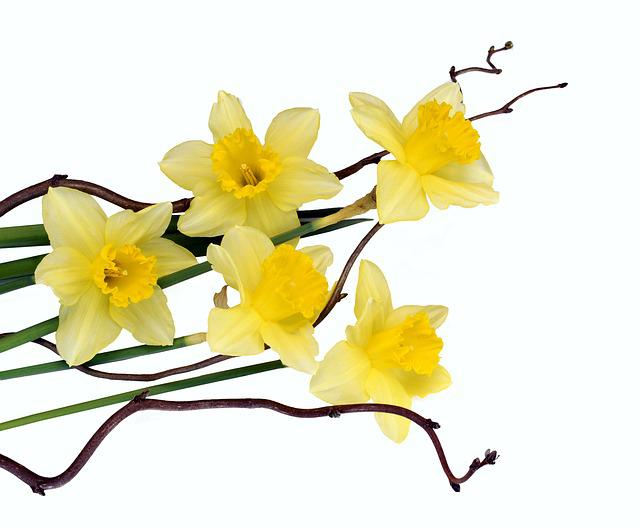 Daffodils, Flowers, Yellow, Spring, Close, Plant