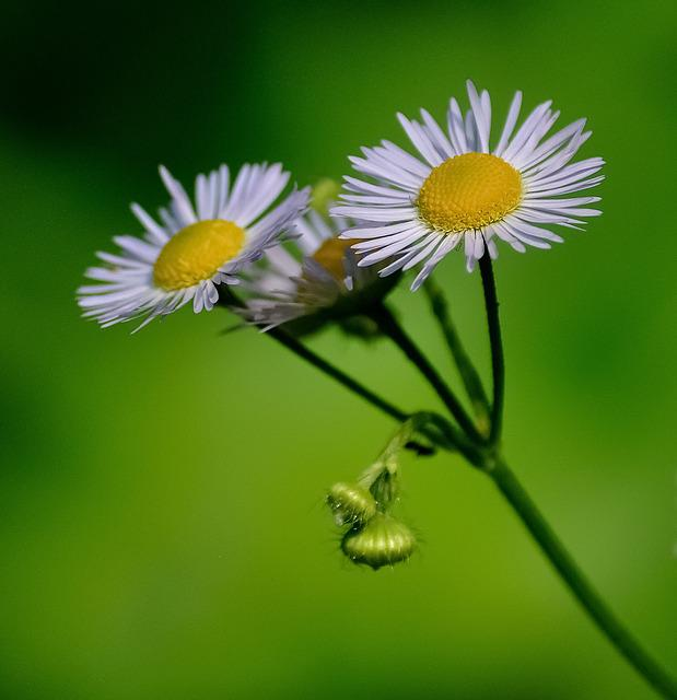 Daisies, Flower, White, Yellow, Green, Nature, Plant