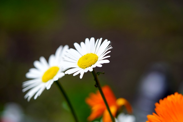 Daisy, Flower, Flower Meadow, White, Yellow, Blossom