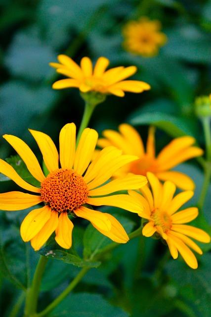 Echinacea, Oranzhevaya, Flowers, Daisy, Yellow, Summer