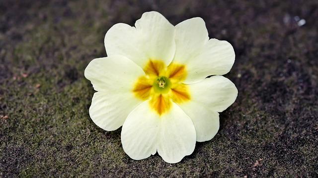 Cowslip, Spring, Yellow, Flowers, Bloom, Easter