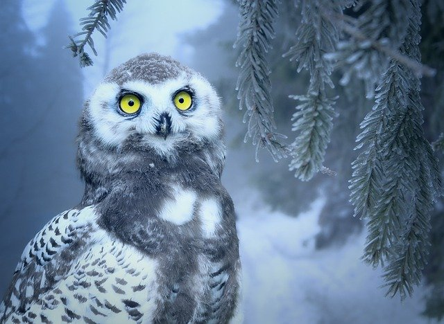 Owl, Snow, Snow Owl, Bird, Forest, Eyes, Yellow, Close