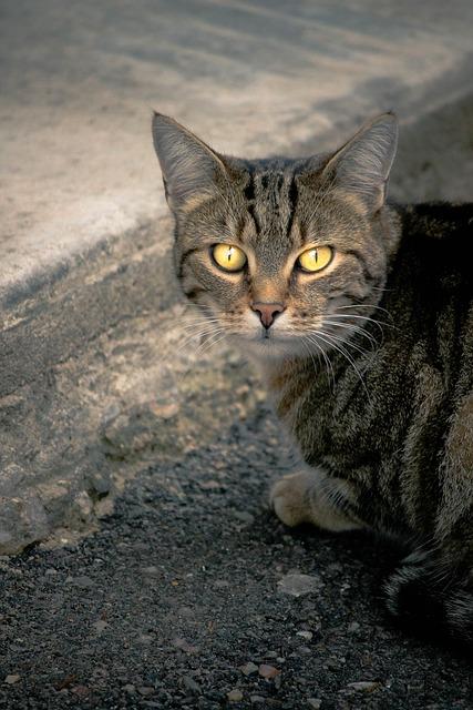 Cat, Alley Cat, European Cat, Yellow Eyes, Street Cat