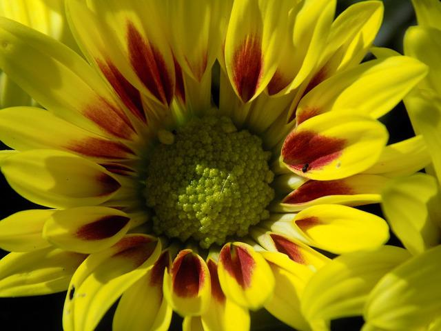Herbstastern, Yellow, Autumn, Flower