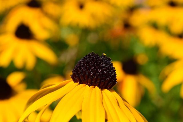 Coneflower, Flower, Yellow, Macro, Blossom, Bloom