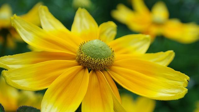 Flower, Yellow, Summer, Coneflower, Blossom, Bloom