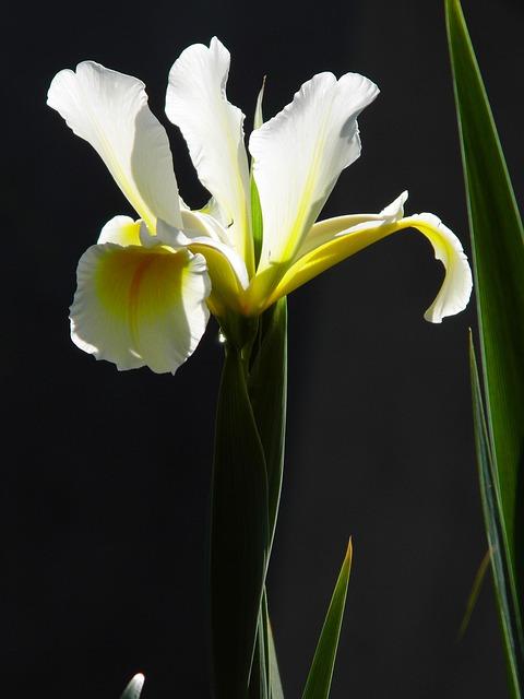 Iris, Flower, Yellow Flower