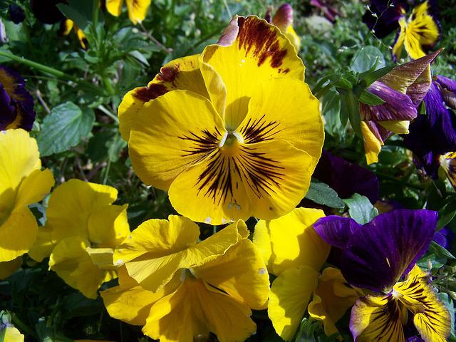 Pansy, Yellow Flower, Garden