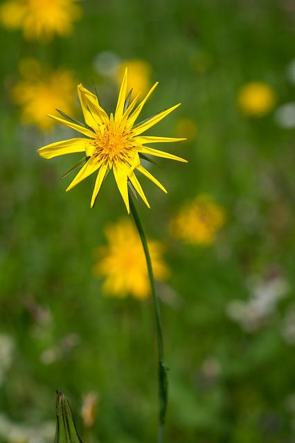 Meadows Dubius, Flower, Yellow, Yellow Flower