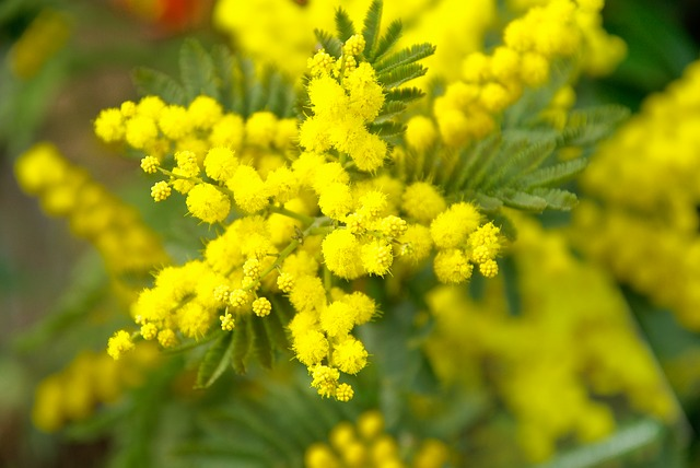 Mimosa, Spring, Yellow Flower