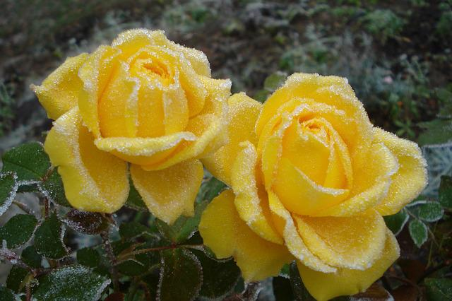 Nature, Plant, Flower, Petal, Winter, Rose, Yellow