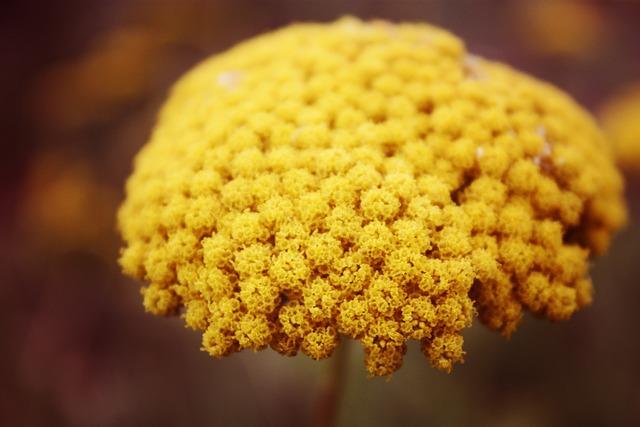 Yellow, Mustard, Flower, Autumn, Fall, Natural, Organic