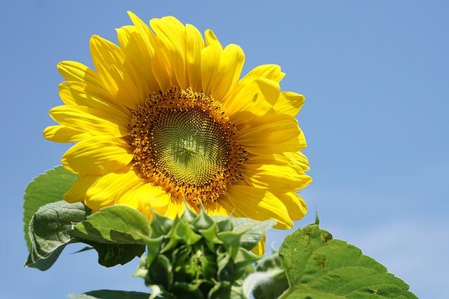 Yellow Flower, Sun Flower