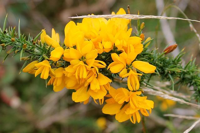 Gorse, Ulex, Furze, Whin, Yellow, Flower, Moorland