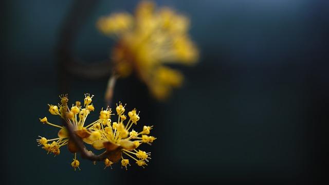 Cornus, Early Spring, Yellow Flowers, Byeokchoji