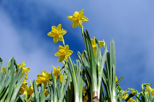 Daffodils, Flowers, Bloom, Yellow, Osterglocken