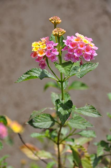 Lantana, Flowers, Pink, Yellow
