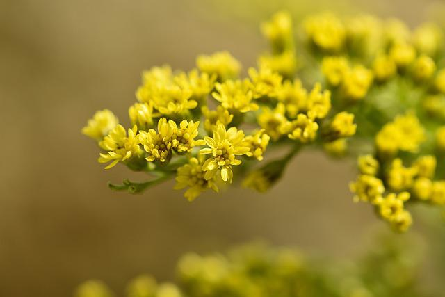 Golden Rod, Plant, Flowers, Yellow, Yellow Flowers