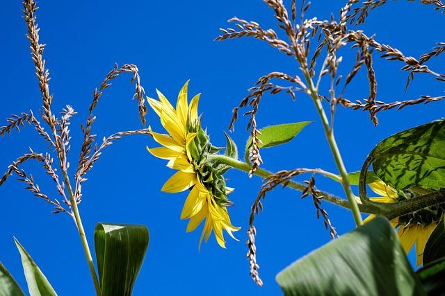 Sun Flower, Flower, Flowers, Yellow, Cornfield, Plant