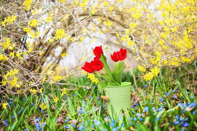 Spring Flowers, Forsythia, Yellow, Tulips, Red Tulips