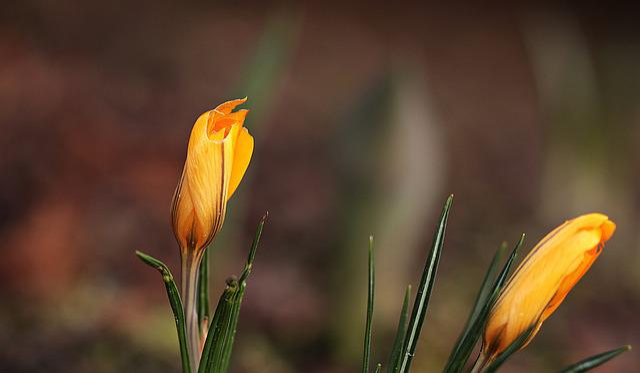 Garden, Spring, Crocus, Yellow, Flower, Plant, Nature