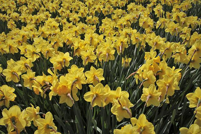 Yellow, Narcissus, Garden, New Daffodil, Grow