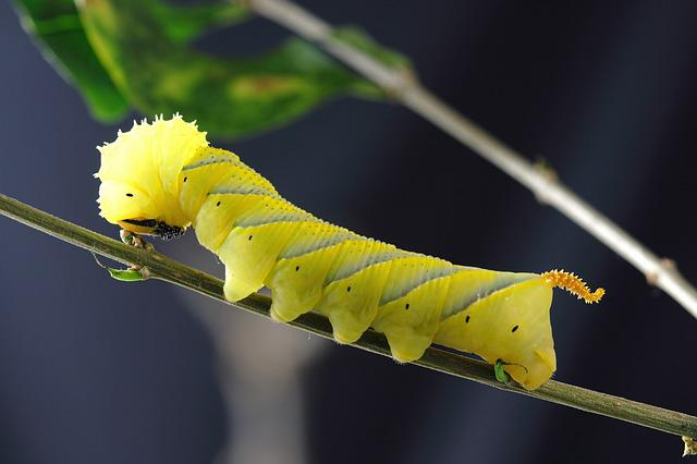 Caterpillar, Larva, Insect, Macro, Yellow