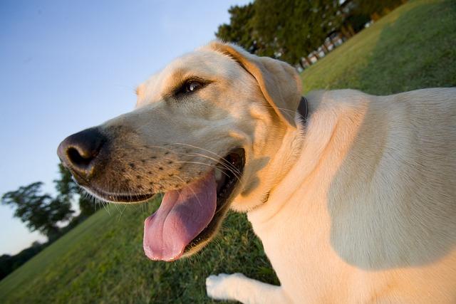 Family, Pet, Dog, Yellow Lab, Labrador Retriever