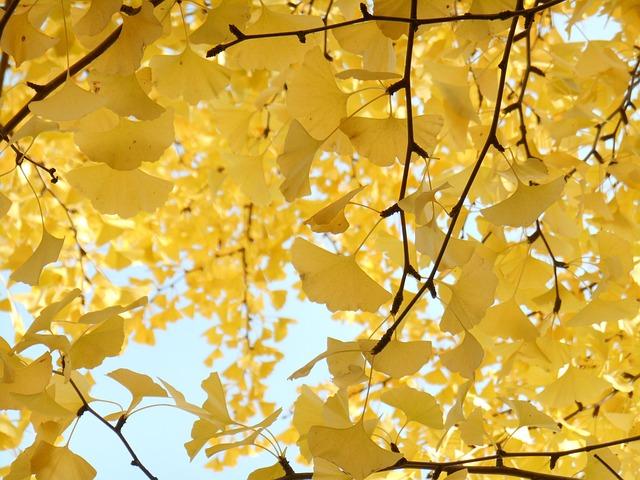 Yellow Leaves, Autumn, Gingko Tree
