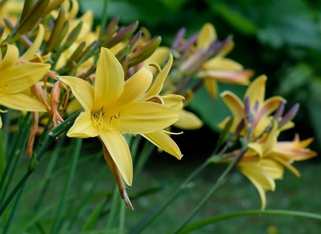 Lily, Daylily, Iris, Yellow, Garden, Close Up