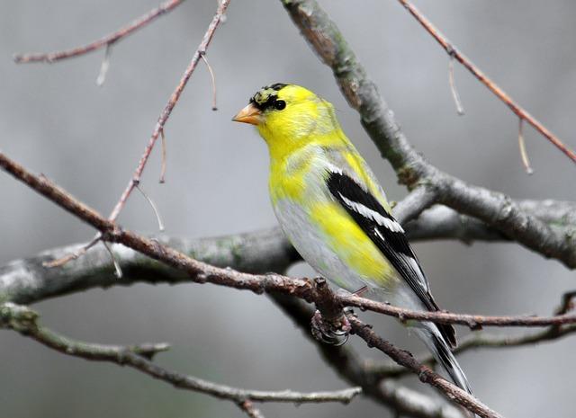 Goldfinch, Bird, Male, Animal, Wildlife, Yellow