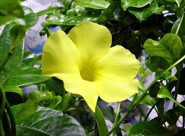Wild Allamanda, Yellow Mandevilla, Yellow Dipladenia