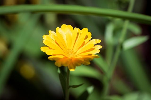 Marigold, Calendula Officinalis, Flower, Yellow