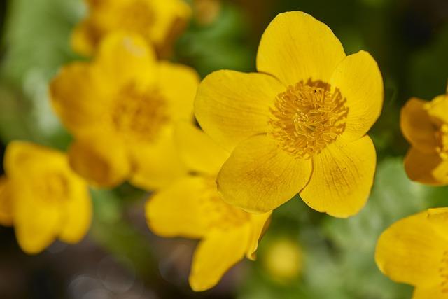 Flower, Yellow, Marsh Marigold, Nature, Plant