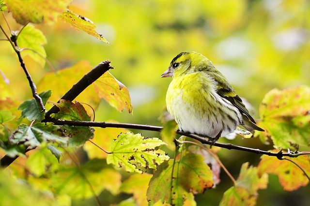 Bird, Yellow, Fall, Autumn, Nature, Colorful, Branch