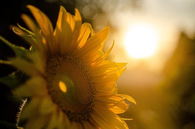 Sunflower, Sunset, Nature, Summer, Sunshine, Yellow