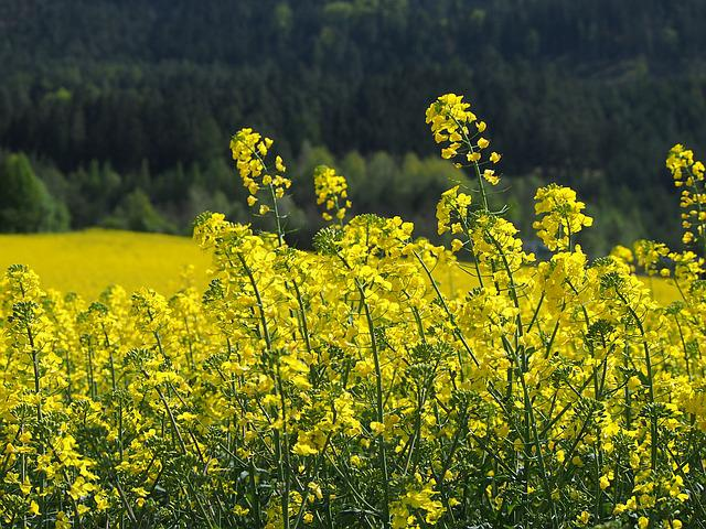 Yellow, Oilseed Rape, Blossom, Bloom