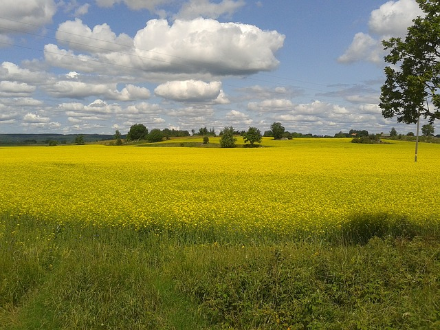 Canola, Oilseeds, Yellow, Field, Summer