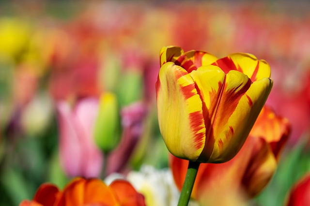 Tulip, Yellow Orange, Yellow Orange Tulip, Tulips