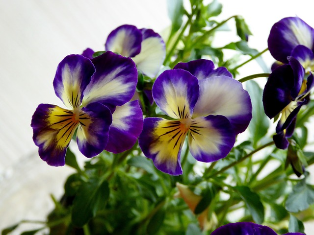 Pansy, 400–500, Blue, Yellow, Transparent, Ornament