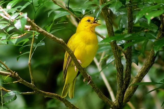 Yellow, Wild, Bird, Wildlife, Perch, Low, Tree, Branch