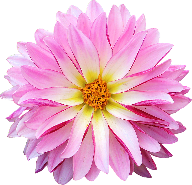 Dahlia, Flower, Pink, Yellow