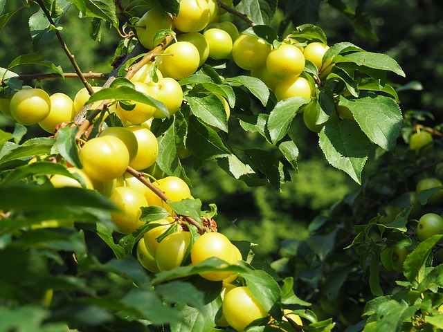 Ringlotte, Yellow Plums, Fruit, Fruit Tree, Tree