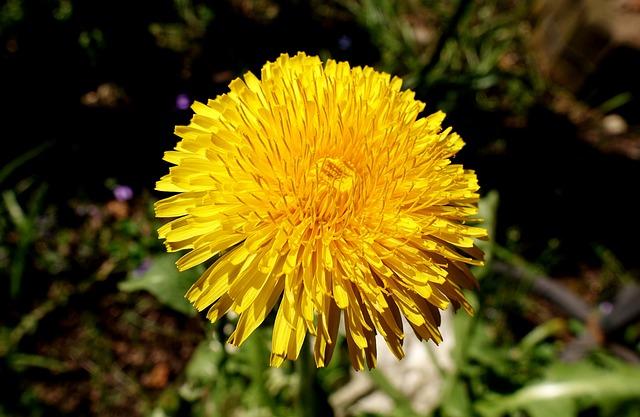 Dandelion, Plant, Flower, Pointed Flower, Yellow