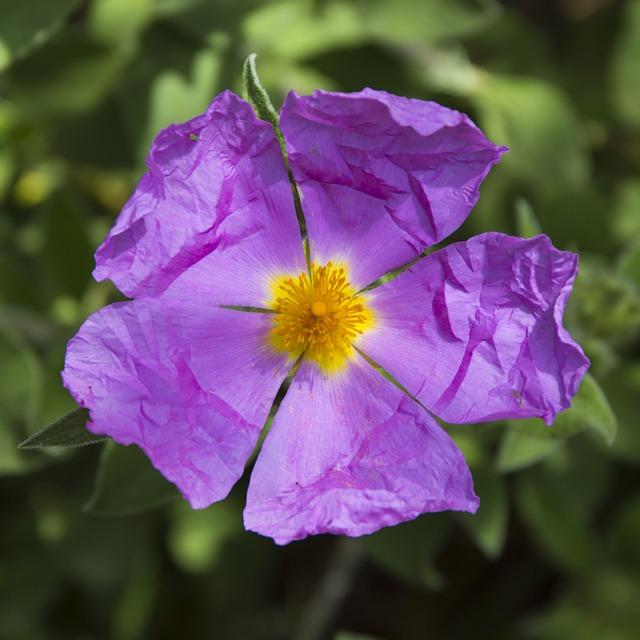 Flower, Violet, Yellow, Pollen, Pistil, Purple Flowers