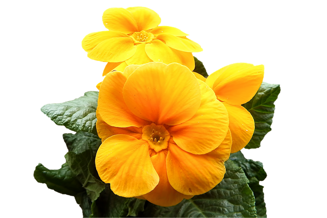 Primrose, Yellow, Flowers, Cowslip, Isolated